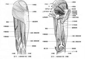 腸脛靭帯は骨盤から始まる筋肉とつながっています。4